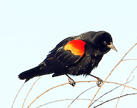 Male red-winged blackbird displaying