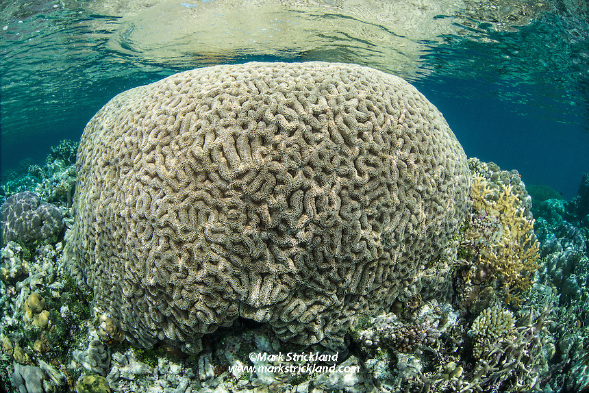 This healthy Brain Coral colony is growing within an inch of the surface. Florida Islands, Solomon Islands, Pacific Ocean