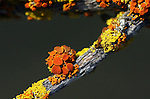 Pin-cushion Sunburst Lichen (Xanthoria polycarpa). Pinnacles National Monument. San Benito Co., Calif.