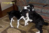 SH25-898z  English Springer Spaniel playing