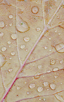 Water Drops leaf veins create a pattern on a autumn leaf on the ground, The Clearing, Door County, Wisconsn