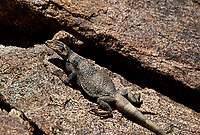 414050003 a wild chuckwalla sauromalus obesus basks on a volcanic rock near eureka dunes california