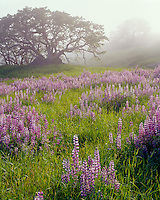 Redwood National Park, CA<br /> Morning fog blankets Riverbank lupine (lupinus rivularis) and Oregon White oak (Quercus garryana) in an open meadow in the Bald Hills