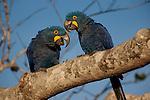 Hyacinth Macaws, Pantanal, Brazil (Endangered)