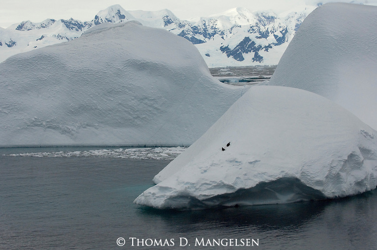 Two chinstrap penguins on an iceberg in Grandidier Channel, Deception Island, Antarctica.