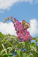 Butterfly Bush Buddleja davidii aka Buddleja davidii 'Bicolor' against blue sky and clouds and Butterfly Silver-bordered Fritillary