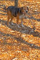 A truffle dog at La Truffe de Ventoux truffle farm, Vaucluse, Rhone, Provence, France