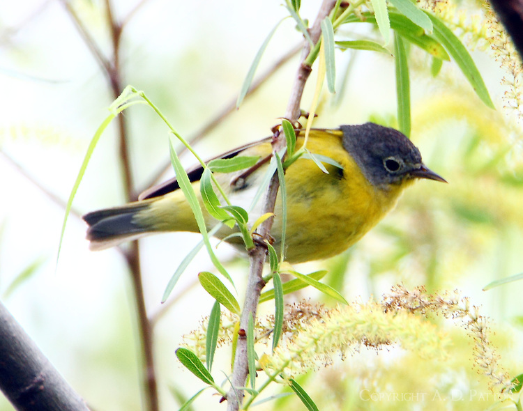Adult male Nashville warbler
