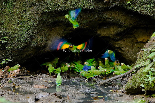 Orange-cheeked Parrots (Pionopsitta barrabandi) and Cobalt-winged Parakeets (Brotogeris cyanoptera) taking off in flight from a clay lick in the Amazon