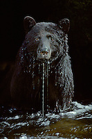 Black Bear (Ursus americanus) in stream (waiting for a salmon) , Pacific Northwest.