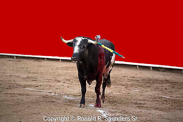 BULL AT BULLFIGHT