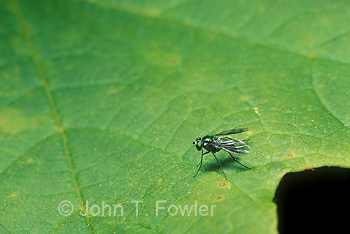 Metallic fly, diptera