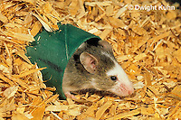 MU50-027x  Pet Mouse - exploring