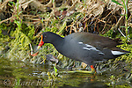 Common Moorhen (Gallinula chloropus) walking at algae-covered edge of pond, Merrit Island National Wildlife Refuge, Florida, USA