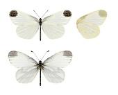 Cryptic Wood White - Leptidea juvernica. Male (top) - female (bottom).
