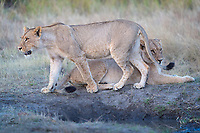 African Lion (Panthera leo) females relax near a water hole, after gorging on a Waterbuck kill. The lioness on the right was huge, even before her belly distended with the meal. Both are absolutely beautiful.