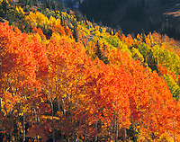 Red Aspen in the Wasatch Mountains, Wasatch / Cache National Forest, Utah