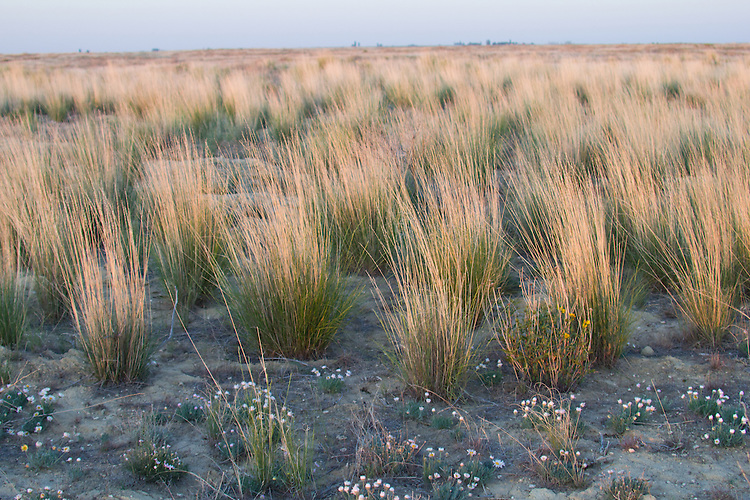 Hanford Reach National Monument, Wahluke Slope, shrub steppe habitat, grassland, Columbia Basin, eastern Washington, Washington State, Pacific Northwest, USA, North America,