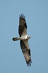 Osprey over the Essex River, Massachusetts