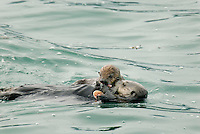 Sea Otter (Enhydra lutris) mom sharing food with pup--pup has only eaten solid food for a day or two, though still most nurishment by nursing.