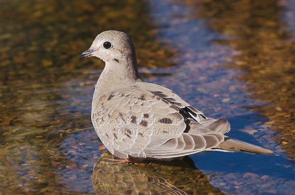 Mourning Dove, Zenaida macroura, young bathing,Tucson, Arizona, USA, September 2006