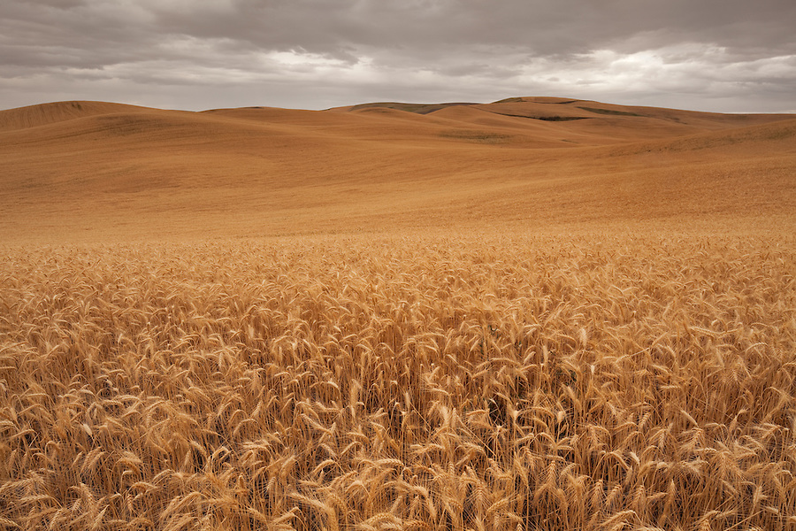 A large field of wheat, ripe for harvest basks under the August sun in the Palouse of Eastern Washington state.