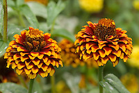 Zinnia 'Aztec Sunset' (one colour)