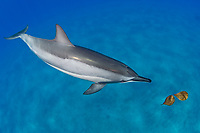spinner dolphin, Stenella longirostris, investigates leaves in the ocean to play with, Hawaii ( Central Pacific Ocean )