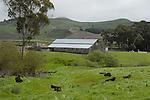 Cattle and barn near Pescadero
