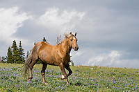 Wild Horse or feral horse (Equus ferus caballus).  Western U.S., summer.  One of the main herd stallions.