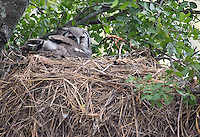 A Verreaux's eagle-owl perches on an abandoned Hammerkop nest.