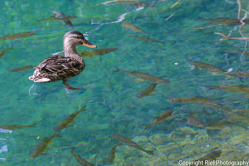 The harmony of fish with a duck in one of the lakes within Plitvice Lakes National Park, Croatia