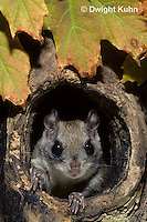 MA29-023z   Flying Squirrel - in a nest cavity - Glaucomys sabrinus