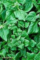 HS21-215x  New Zealand Spinach - Tetragonia variety