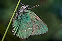 Green Hairsteak butterfly {Callophrys rubi}, Austrian Alps, June 2009