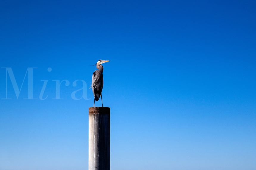 Blue heron perched on a pier.