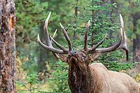 Rocky Mountain bull elk (Cervus elaphus) being aggressive.  Northern Rockies.  Fall.