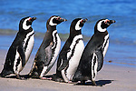 Magellanic Penguins on the Beach; Falkland Islands