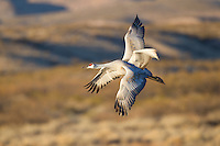 Sandhill Crane (Grus canadensis) adults in flight, Bosque del Apache National Wildlife Refuge , New Mexico, USA