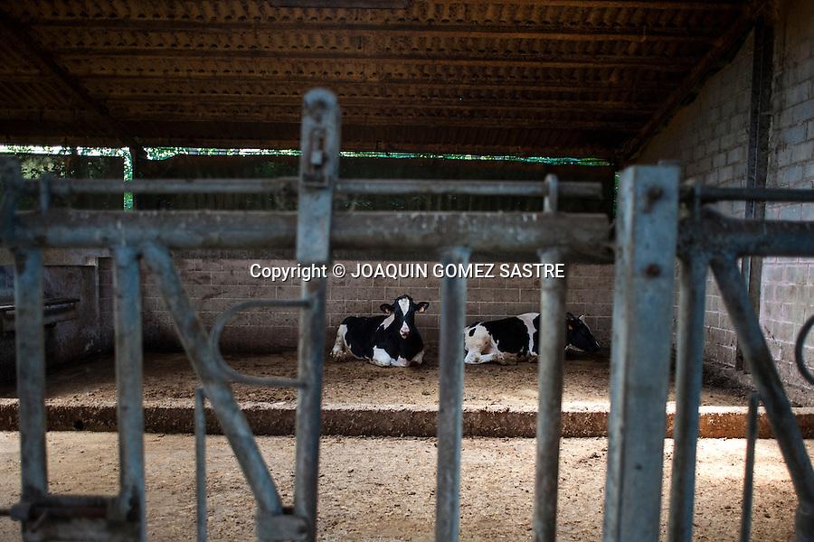 dos novillas en una cuadra en una explotacion ganadera en Cantabria