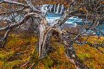 Split birch tree near Hraunfossar falls. Borgarfjörður, Iceland