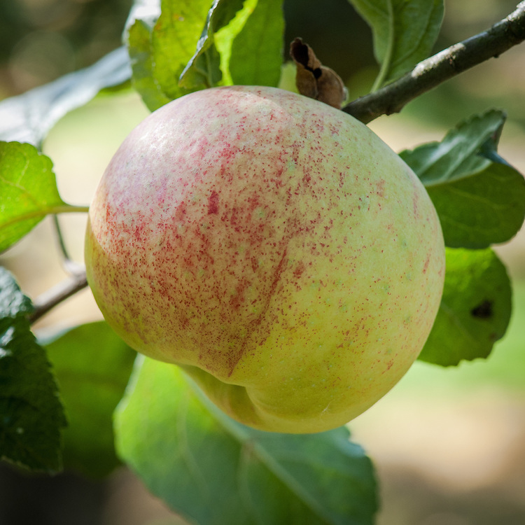 Apple 'Chelmsford Wonder', late September. An English culinary apple bred in about 1870 near Chelmsford in Essex.
