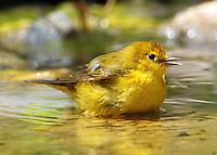 Yellow warbler bathing