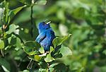 Indigo Bunting (Passerina Cyanea) singing calling blue .