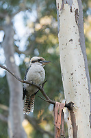 A laughing kookaburra (Dacelo novaeguineae) perches on a thin branch of a eucalyptus tree near Adelaide, South Australia.