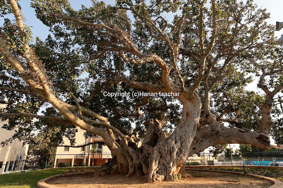 Sycamore tree (Ficus Sycomorus) in Natania, Sharon region, Israel<br />