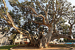 Sycamore tree (Ficus Sycomorus) in Natania, Sharon region, Israel<br />