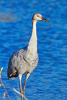 Immature Sandhill Crane (Grus canadensis) standing at the water's edge.  Summer.  Winter, WI.