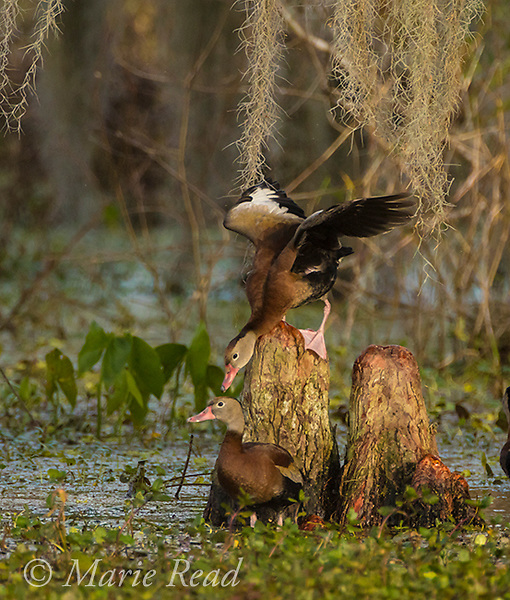 Black-bellied Whistling-Ducks (Dendrocygna autumnalis), two during altercation about personal space, among bald cypress knees, Lakeland, Florida, USA, Lakeland, Florida, USA