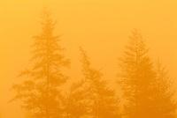 Eastern larch  (tamarack) trees in morning fog<br /> Corner Brook<br /> Newfoundland <br /> Canada